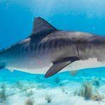 skynews-tiger-shark-file-pic_4829582